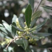Fagus Sylvatica (groene beuk)